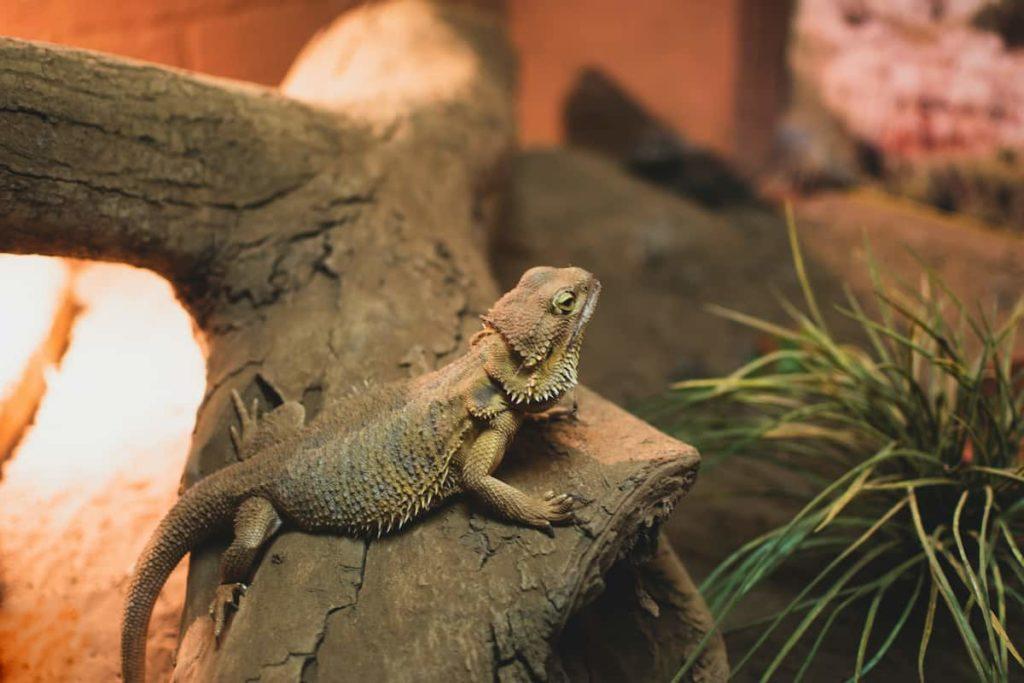 Are Black Bearded Dragons Rare