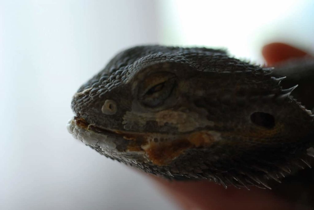 Can Black Bearded Dragon Tail Rot Kill Your Beardie