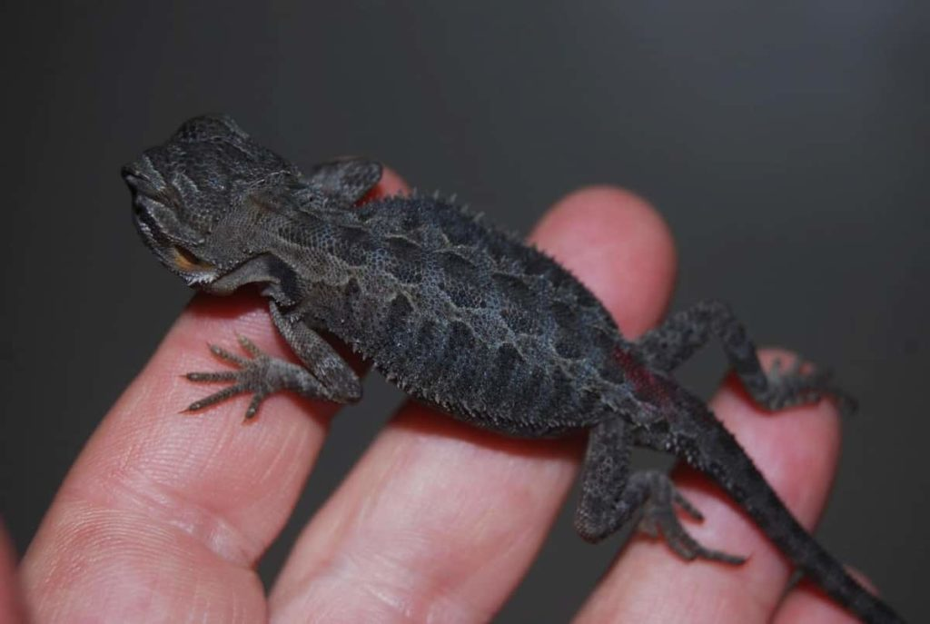 How Much Does A Black Bearded Dragon Cost