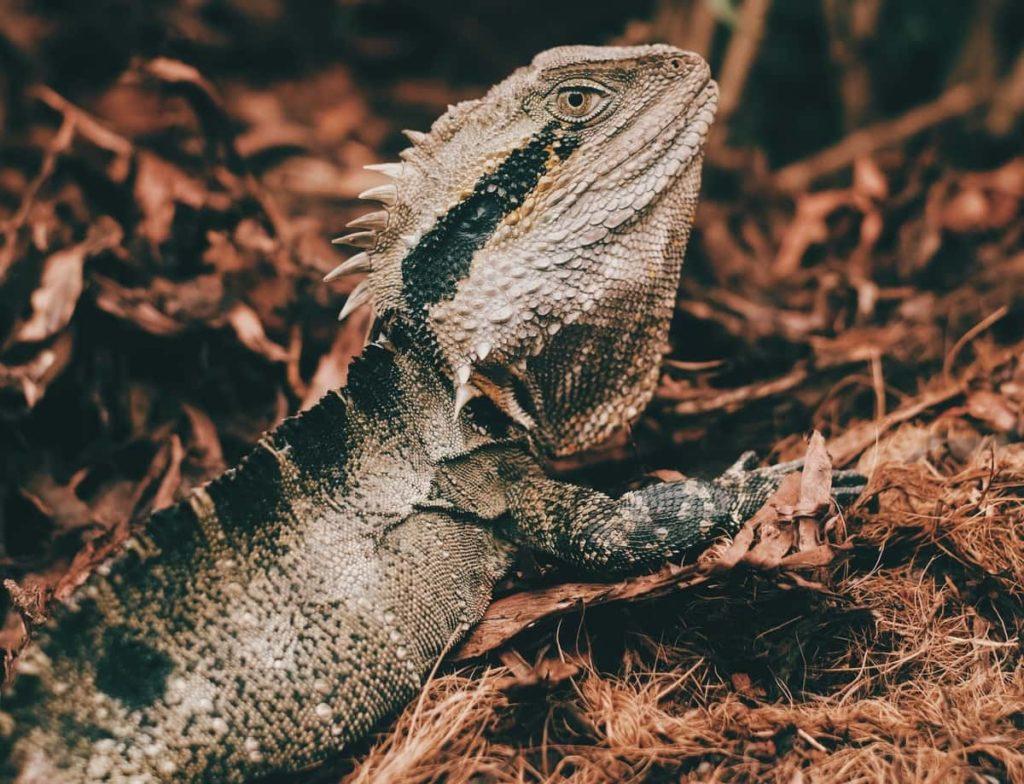 What Do Black Bearded Dragons Eat