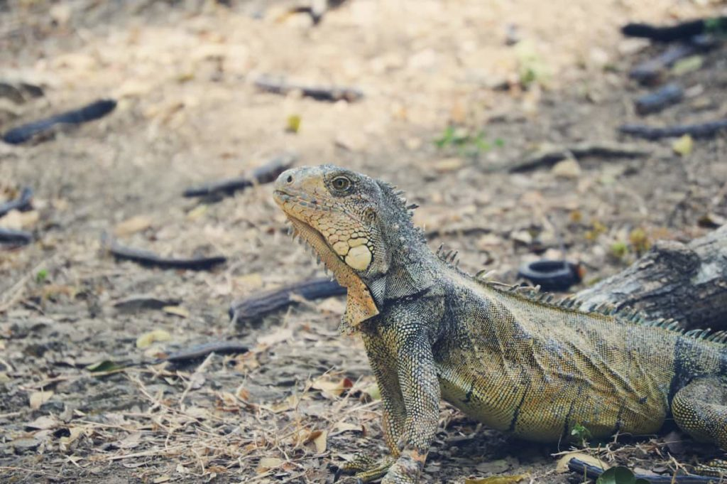 What Does It Mean When A Bearded Dragon Turns Black