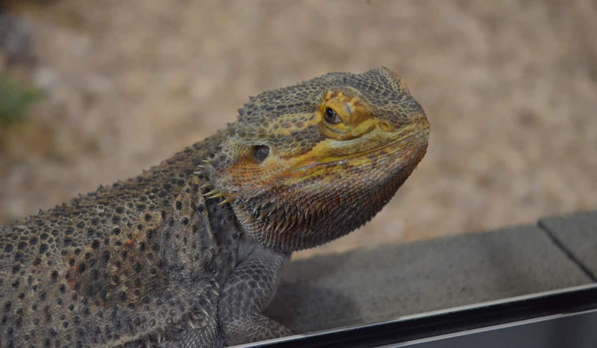 black bearded dragon